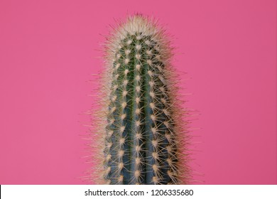 Green Cactus on pink background.