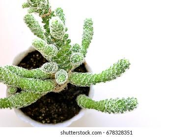 Green cactus in a pot. Prickly cactus. Prickly plant.