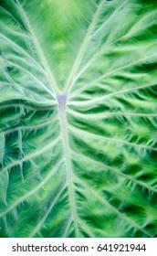 green caladium leaf