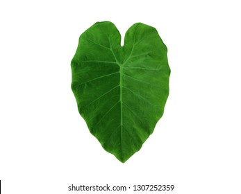 Green Caladium leaf (colocasia esculenta) with heart shape isolated on white background