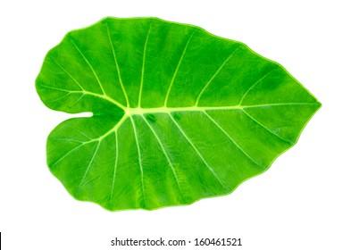 Green Caladium leaf, Elephant Ear  isolate on white background