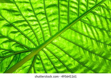 green caladium leaf with lighting through at leaf for background texture.