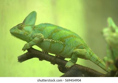green cameleon
