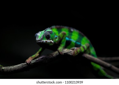 green camelion in black background