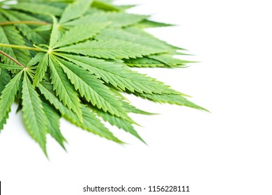 Green cannabis leaves isolated on white background.