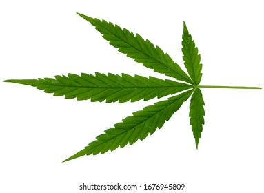 Green cannabis leaves isolated on on white clipping path background. Growing medical marijuana. Marijuana leaves, cannabis beautiful  indoor cultivation.