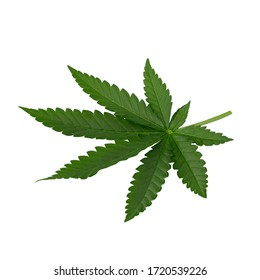 Green cannabis leaves isolated on a white background.