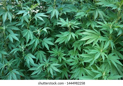 Green cannabis marihuana plant hemp leaves, marijuana background.