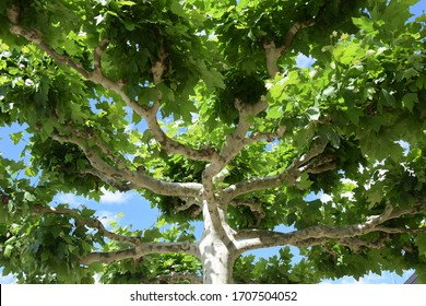 Green canopy of a plane tree against a blue sky