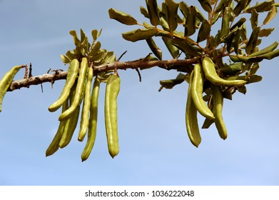 green carob pods hanging on the tree against blue sky, closup