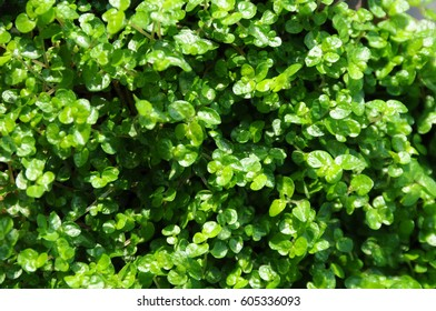 Green carpet of soleirolia soleirolii (baby's tears or peace-in-the-home)