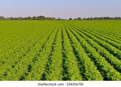 Green carrots field