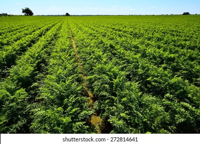 Green carrots field with blue sky.