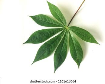 Green cassava leave on white background.