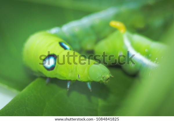 Green caterpillar is on green leaf.