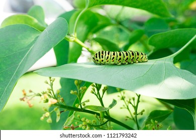 Green caterpillar on lilac leaf, caterpillar in nature