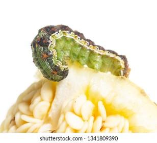 green caterpillar on a vegetable