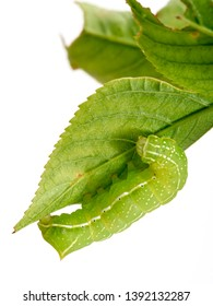 Green caterpillar with yellow, white and black markings. Amphipyra pyramidoides, Copper Underwing Moth larva, early instar. On leaf, isolated on white