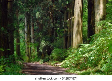 The Green Ceder trees in Hakon, Japan. The ceder pathway  with sunlight. The calm trail wih no people.  Cryptomeria japonica (L. F.) D.Don