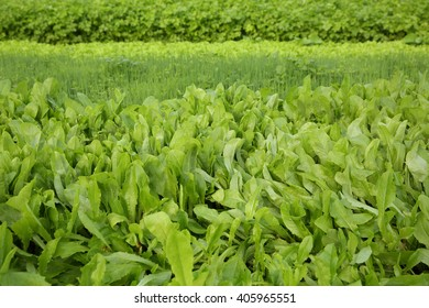 green celery,lettuce and spring onion crops in growth at garden