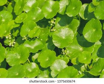 Green Centella asiatica (centella, Asiatic pennywort, Gotu kola) plant background.