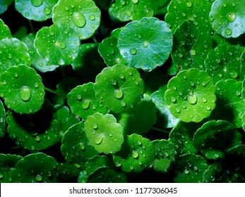 green centella asiatica.gotu kola leaves.Indian pennywort, Close up Green leaf of Gotu kola tree in dark background.
