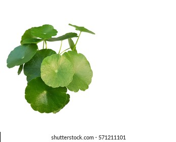 green centella asiatica.gotu kola leaves.Indian pennywort (Centella asiatica (L.) Urban.) brain tonic herbal plant.