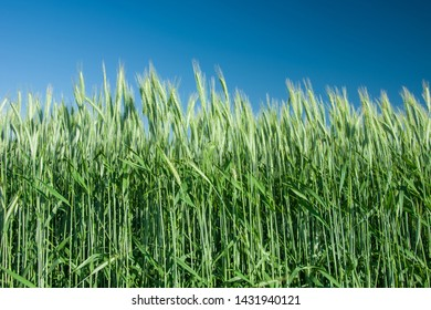 Green cereal triticale and cloudless blue sky