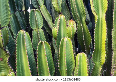 Green Cereus cactus on Canary islands