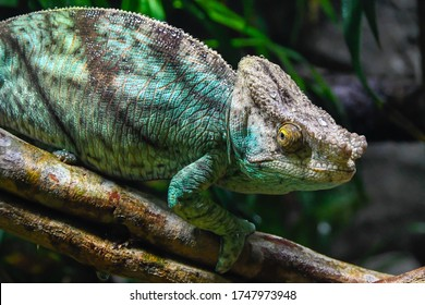 Green Chameleon in close up with blurred background