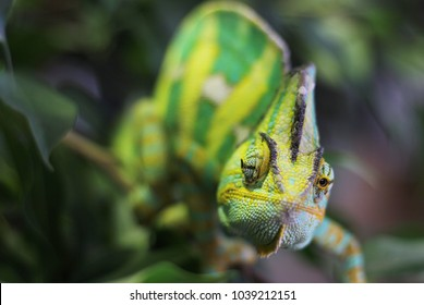 green chameleon in the forest