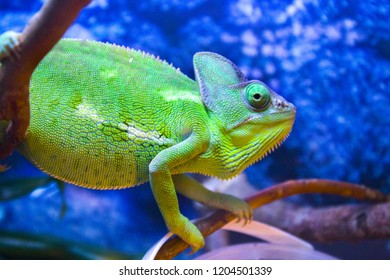 green chameleon iguana
