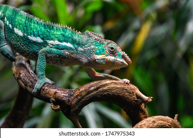 Green chameleon on a branch with forest blurred background