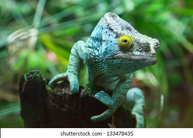 Green chameleon on the green grass