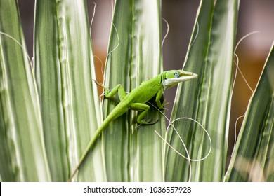 Green chameleon on a palm leaf