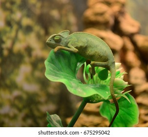 Green chameleon rests on a grass