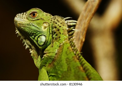 green chameleon sitting on a branch