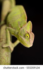 Green chameleon walking on bamboo on black background