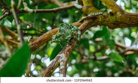 Green chameleon walking on tree branch in isolation