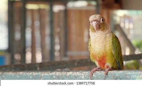 Green Cheek Conure Images, Stock Photos & Vectors | Shutterstock