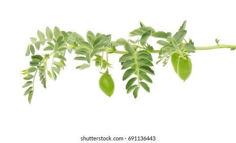 Green chickpea on a branch, and in the pod isolated on white background. Flowers chickpeas isolated