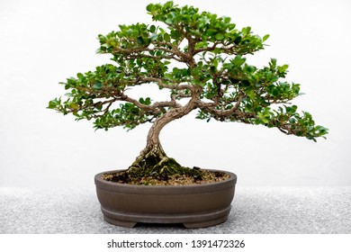 Green Chinese Bonsaï tree, with small round leaves in soft-focus, with moss on its roots, in a earth colored pot, on a gray granite table, with a plain white background.