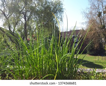 green chives with park in the background