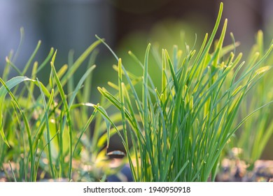 Green chives, vegetable garden and background are blurred.