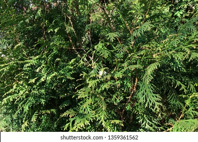 green christmas leaves of Thuja trees on green background. Thuja is a genus of coniferous trees