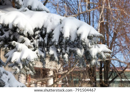 Icicles For Christmas Trees.Green Christmas Trees Covered Snow Icicles Stock Photo Edit