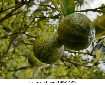 Green citrus fruit on the tree