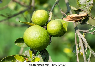Green citrus fruits on the tree