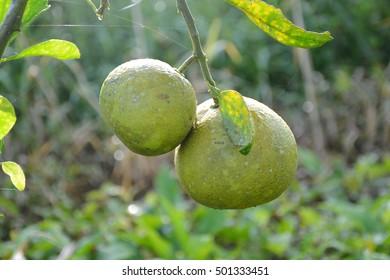 green citrus on tree