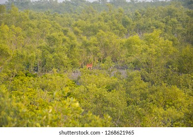 green and clean indian forest , Sundarbans